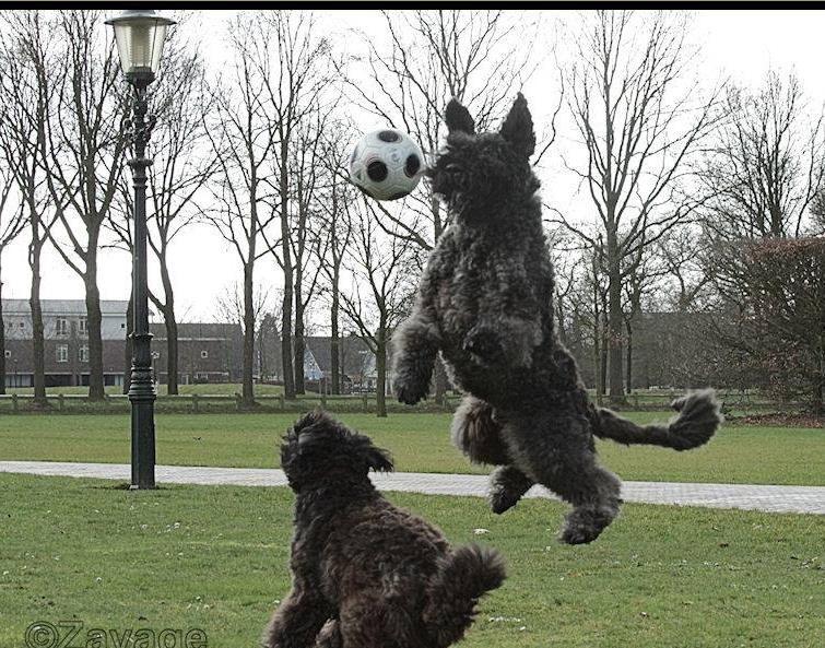 Strakke Aktie With Images Bouviers Des Flandres Dog Breeds Working Dogs