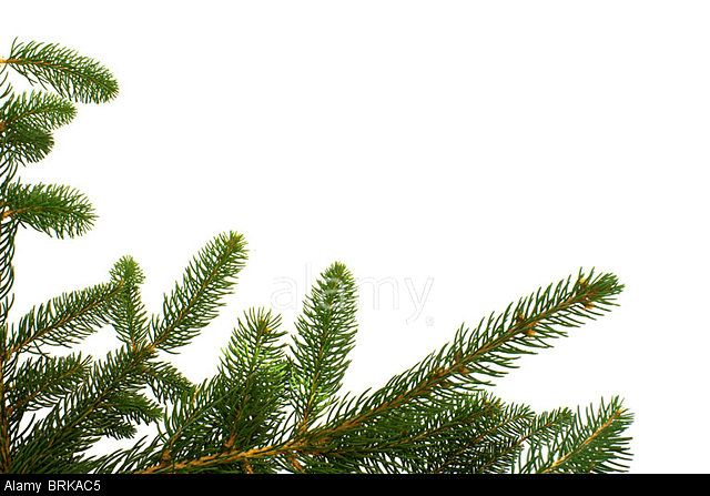 Stock photo available for sale at Alamy: Branches of fir tree isolated on white background.