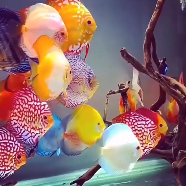 The Discus Community In Tank Moved Too Slow Video Tropical Freshwater Fish Pet Fish Freshwater Fish