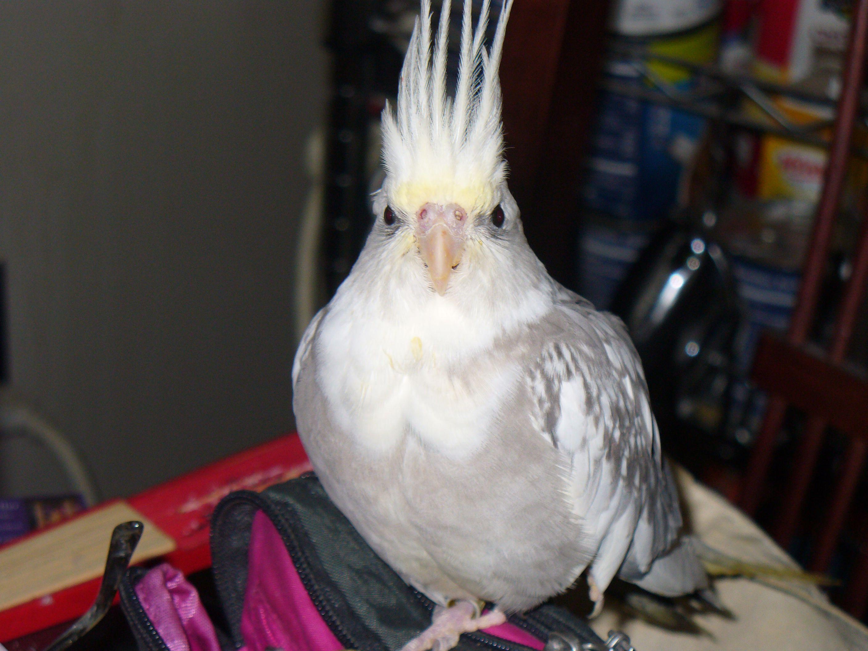 Arwen Hisses At The Camera Grumpy As Her Molt Begins Pets Cockatiel Cockatoo