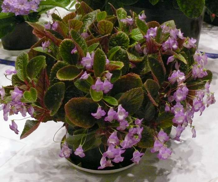 Eucodonia Blue Bouquet | African violets, Blue bouquet ...