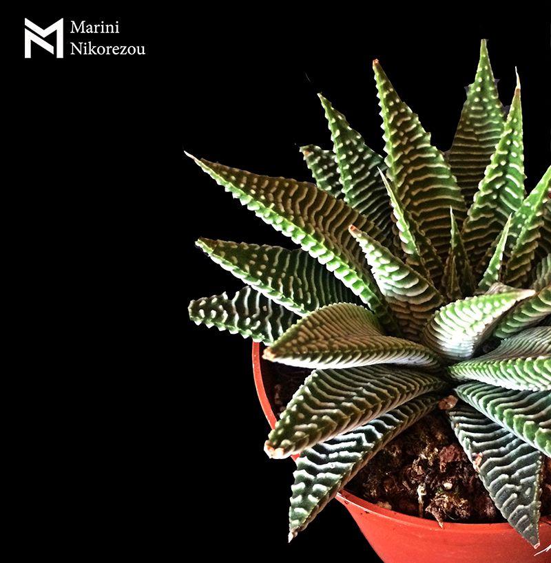 Haworthia limifolia v.striata