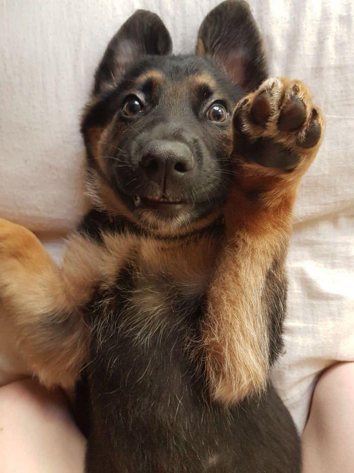 German Shepherd Puppy Teeth : german, shepherd, puppy, teeth, German, Shepherd, Loki,, Weeks,, Pounds, Teeth, Fluff, Shepherd,, Puppies,