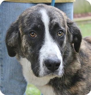 Hagerstown Md Great Dane Great Pyrenees Mix Meet Maddie Grace