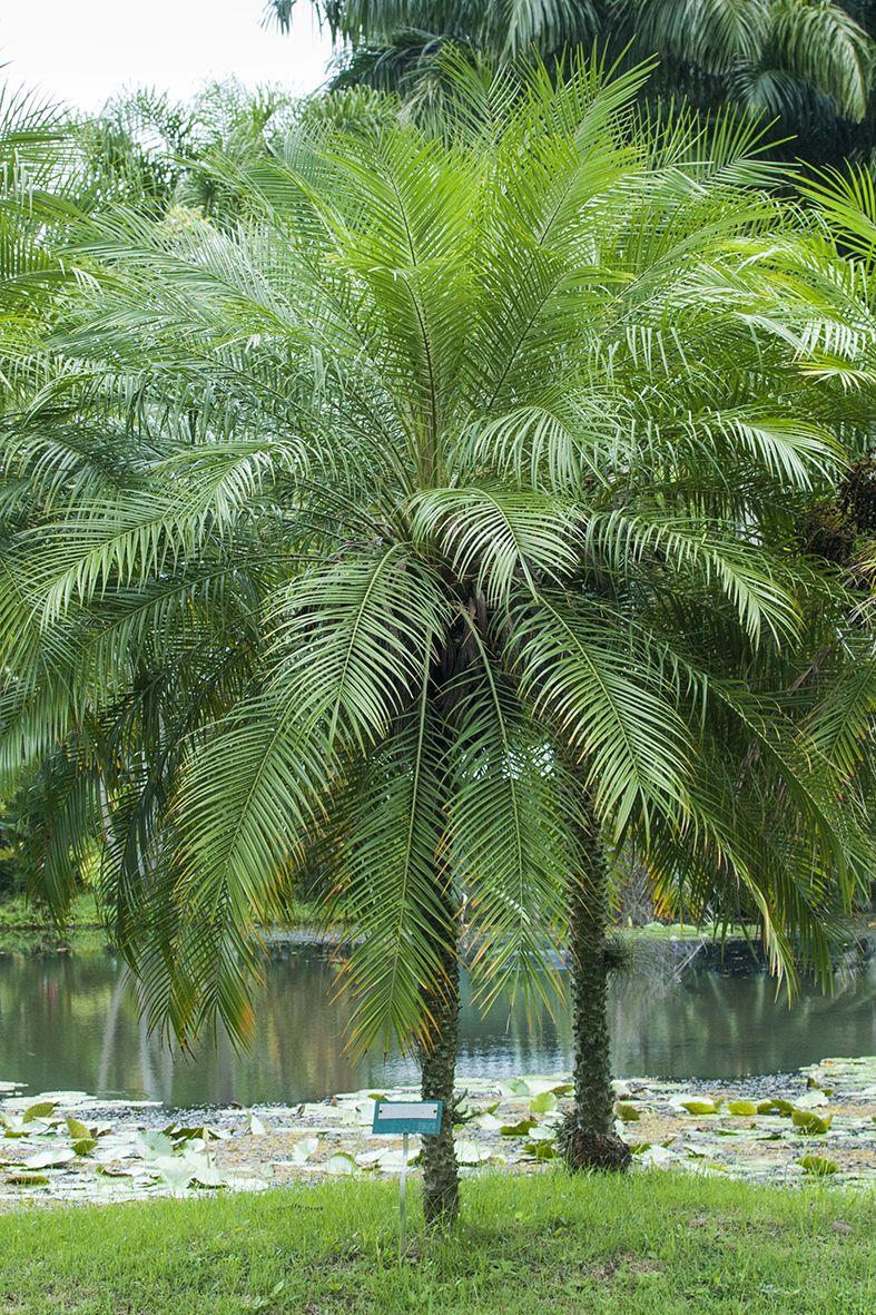 Resultado de imagem para palmeira fenix grande
