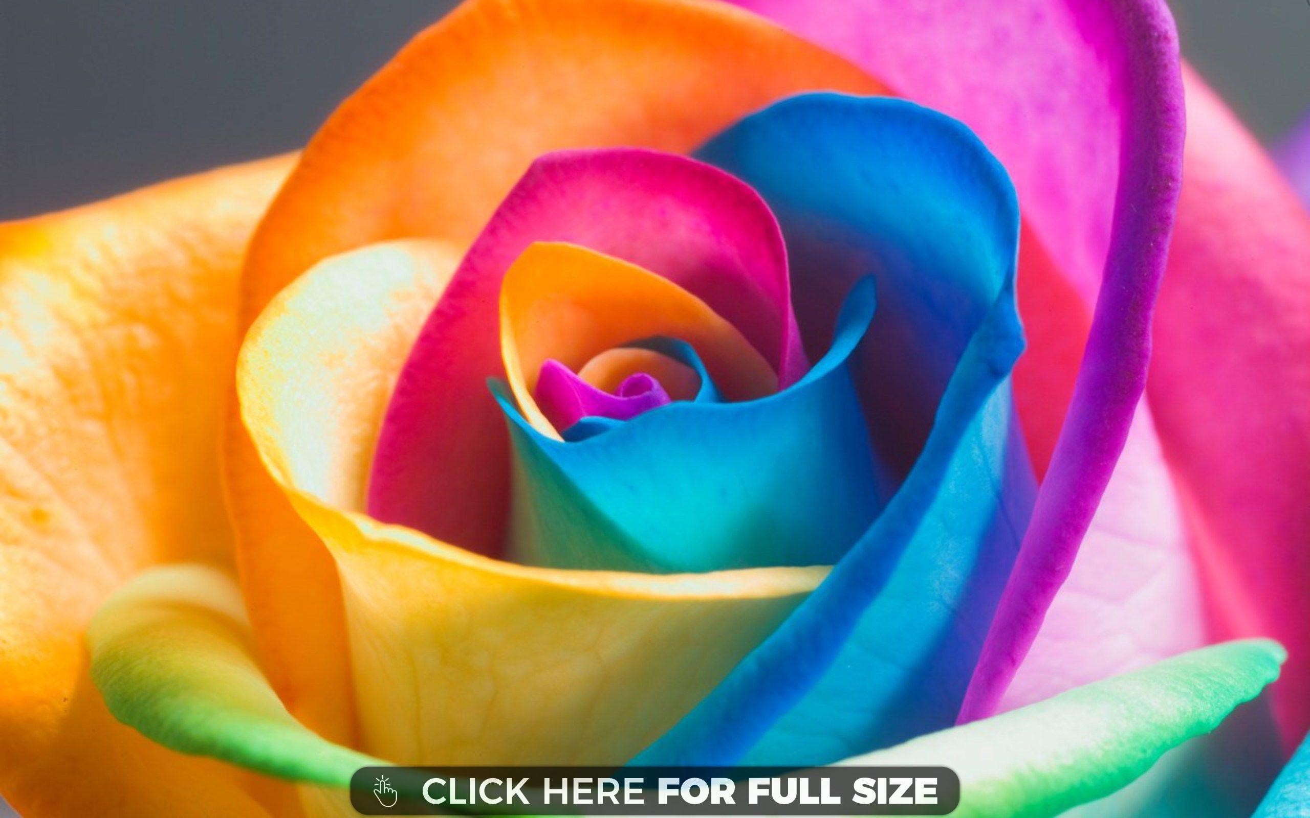 srainbow rose 3d flowers full hd   desktop wallpapers   pinterest