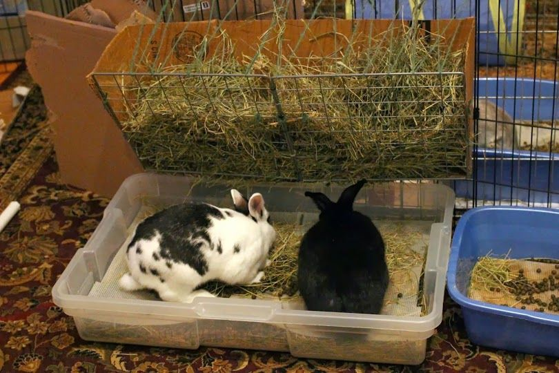 how to kitty litter train a bunny
