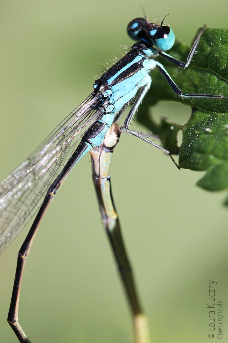 Macro: blue dragonfly