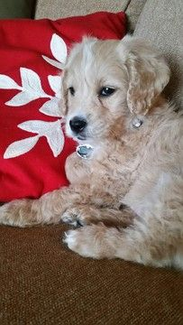 Golden Retriever Poodle Toy Mix Puppy For Sale In Syracuse Ny