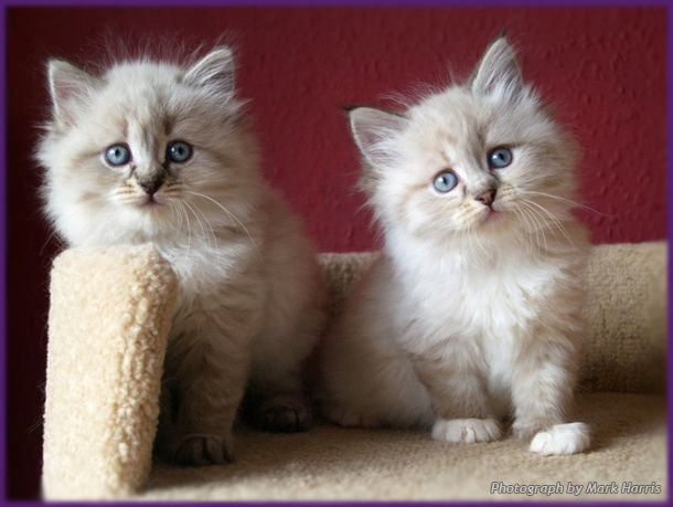 Siberian Colour Point Neva Masquerade Kittens Kittens Cutest Siberian Kittens Siberian Cat