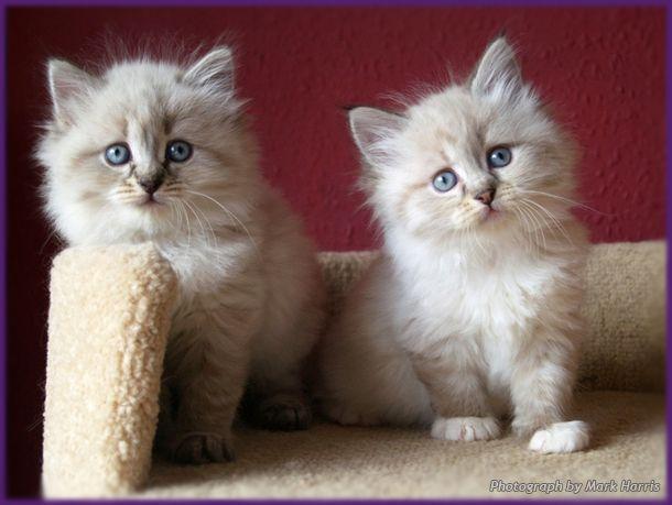 Siberian Colour Point Neva Masquerade Kittens Kittens Cutest Siberian Kittens Siberian Cat