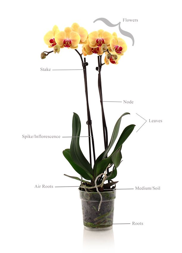 Orchid Plant Anatomy Orchid Care Pinterest Orchid