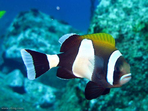 Blue Lip Anemonefish Ocean Creatures Sea Creatures Blue Lips