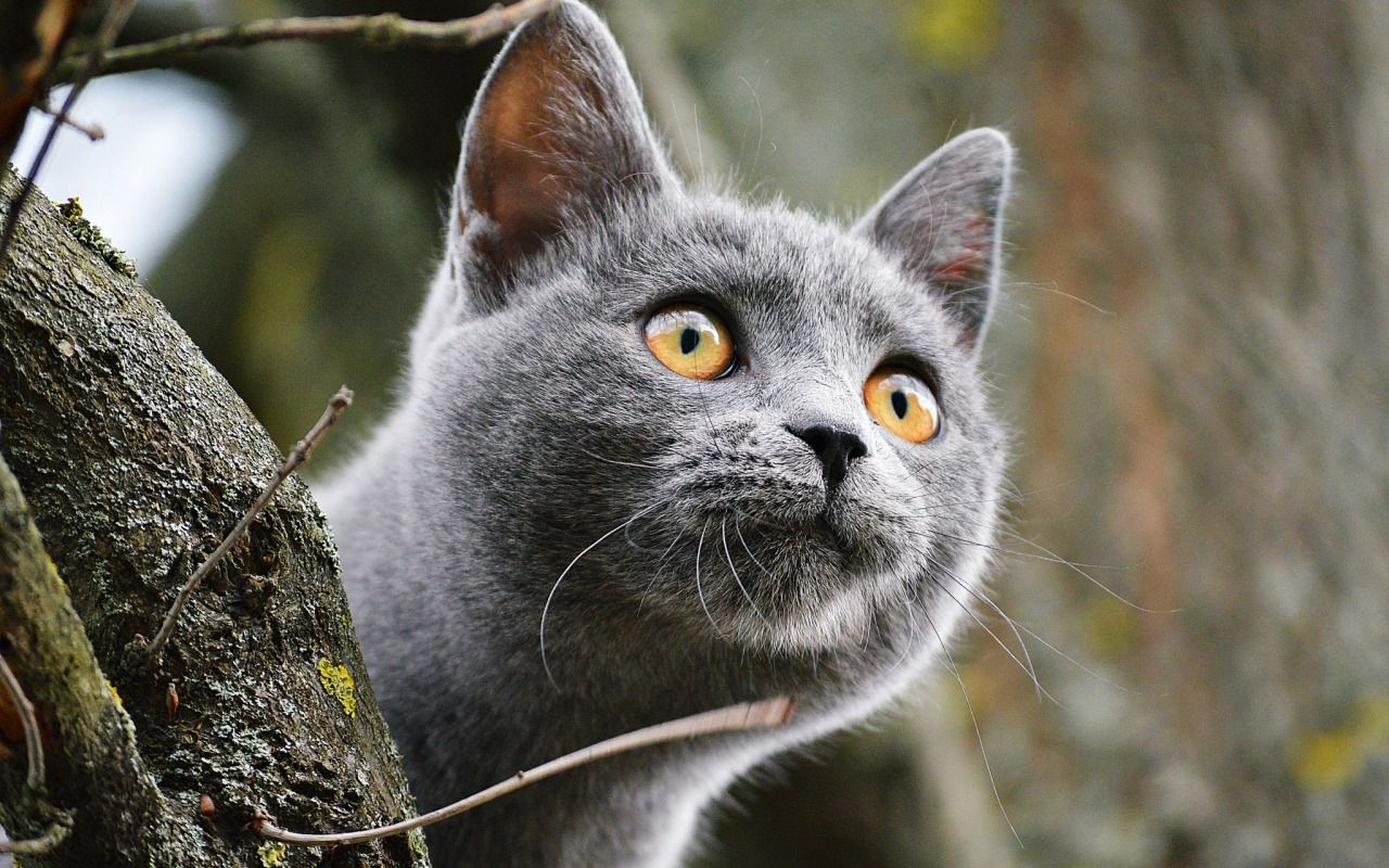 Download wallpaper cat, eyes, face, eyes, cats resolution 1280x800