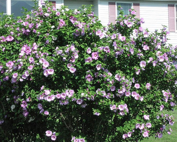 Pink Rose Of Sharon 6 Unrooted 8 12 Quot Cuttings Bush Shrub