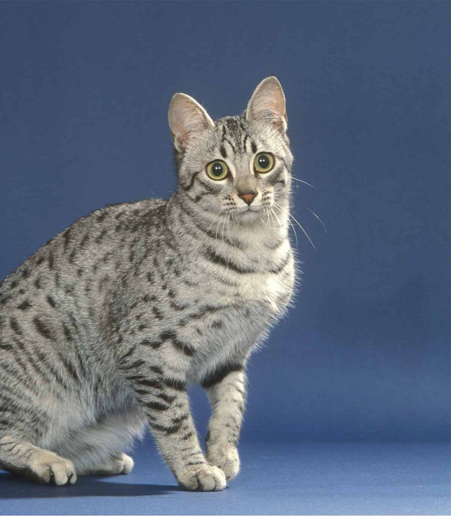 Egyptian Mau Lifespan And Health Problems Egyptian Mau Egyptian Cats Cat Breeds