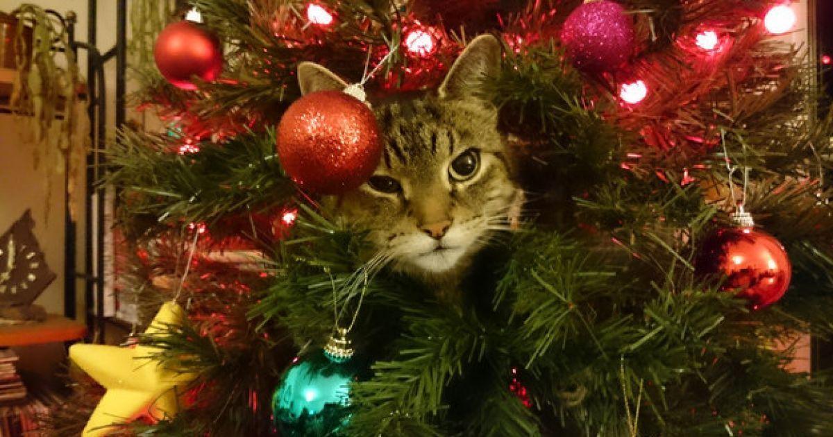 A veces es dificil adornar el Árbol de Navidad, hay tantas opciones para hacerlo que no sabemos por donde empezar o que adornos agregar a nuestro arbolito. Pero cuando está listo, para todos aquellos que tienen un gato como mascota, empieza una verdadera tortura. Es imposible no ver a estos animales cerca del árbol jugando con los adornos y a veces, ellos queriendo ser el adorno principal del árbol.