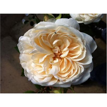 The Queen's Diamond Jubilee Rose. Buy The Queen's Diamond Jubilee Rose - Highgrove Shop