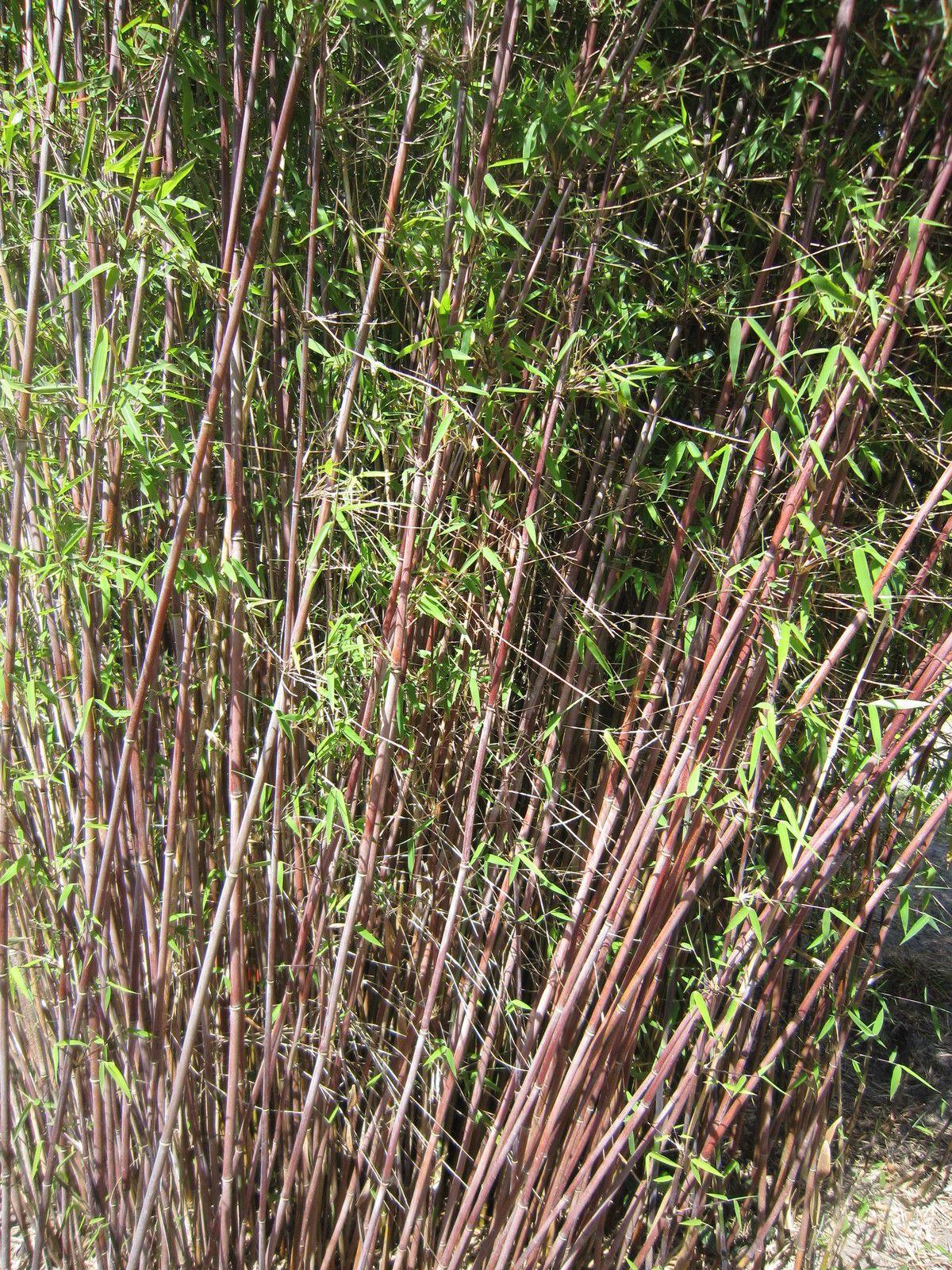 Details Zu Fargesia Jiuzhaigou Roter Bambus Jade Bambus