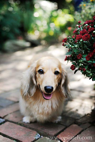 Pretty Dog Blonde Dachshund Long Haired Dachshund Dachshund