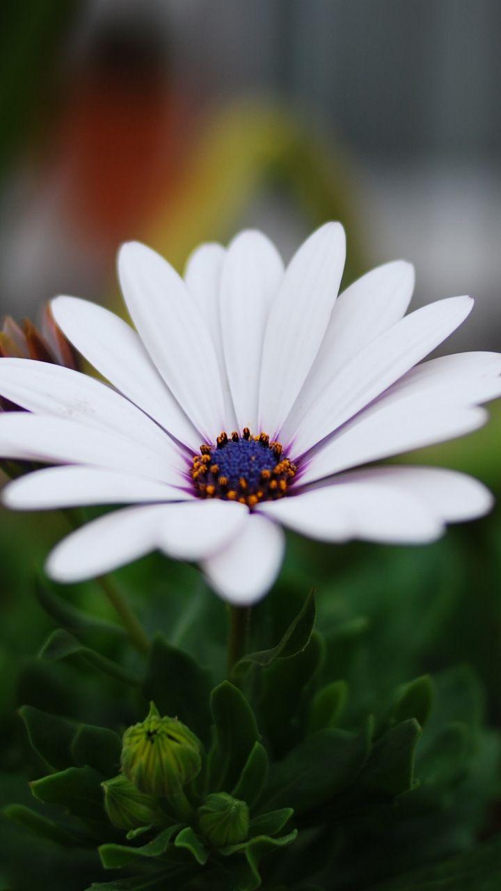 Portrait Daisy Flower Blur Leaves 720x1280 Wallpaper Flowers