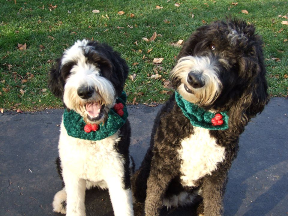 Sheepadoodles All Grown Up Sheepadoodle Dogs Portugese Water Dogs