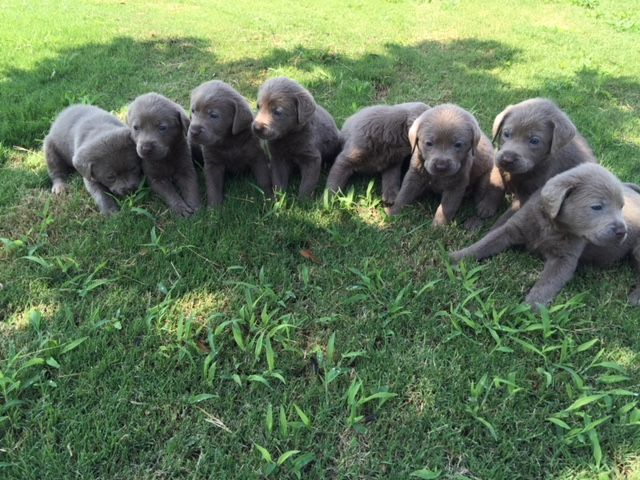 Litter of 9 Labrador Retriever puppies for sale in DENTON