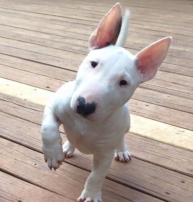 We Don T Talk Anymore Bull Terrier Bull Terrier Puppy