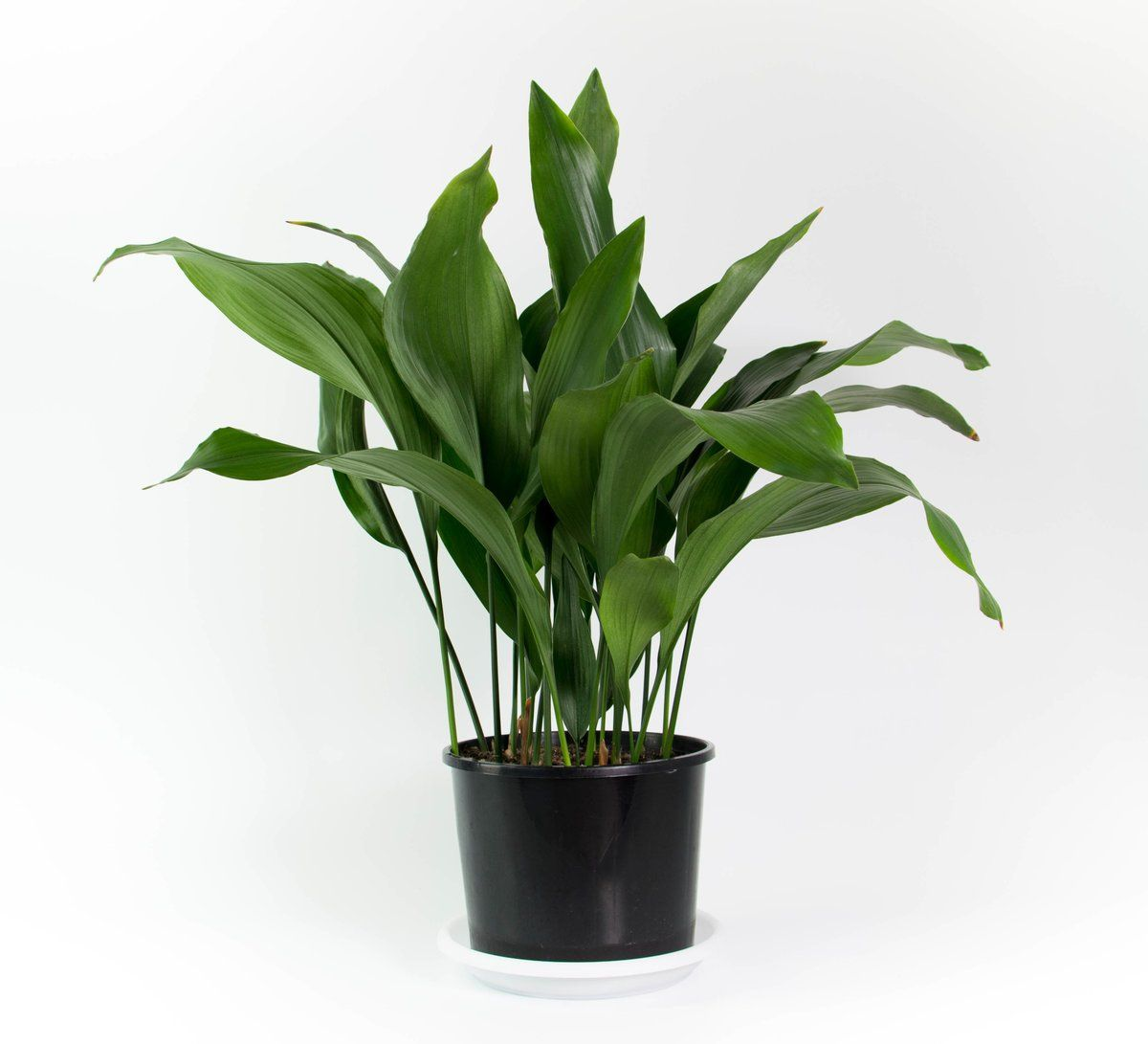Where To Buy Indoor Plants Online Image Result For Cast Iron Plant Plant Indoor Plants