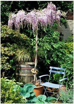 Wisteria Umbrella In Bloom Ln Center Garden Middle Of Table Garden Design Garden Inspiration Garden