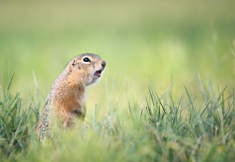 Screaming Gopher In The Grass Sponsored Screaming Gopher Grass Ad Stock Images Free Stock Images Image