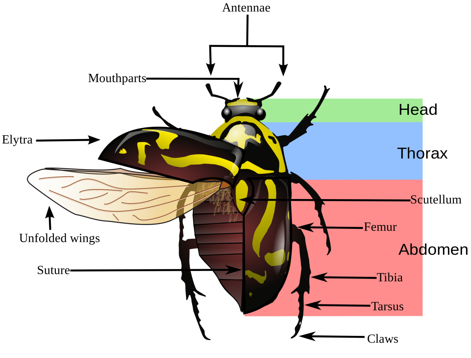 image result for insect anatomy [ 1577 x 1200 Pixel ]