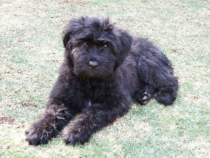 Bouvier Des Flanders Bouviers des flandres, Dog breeds, Dogs