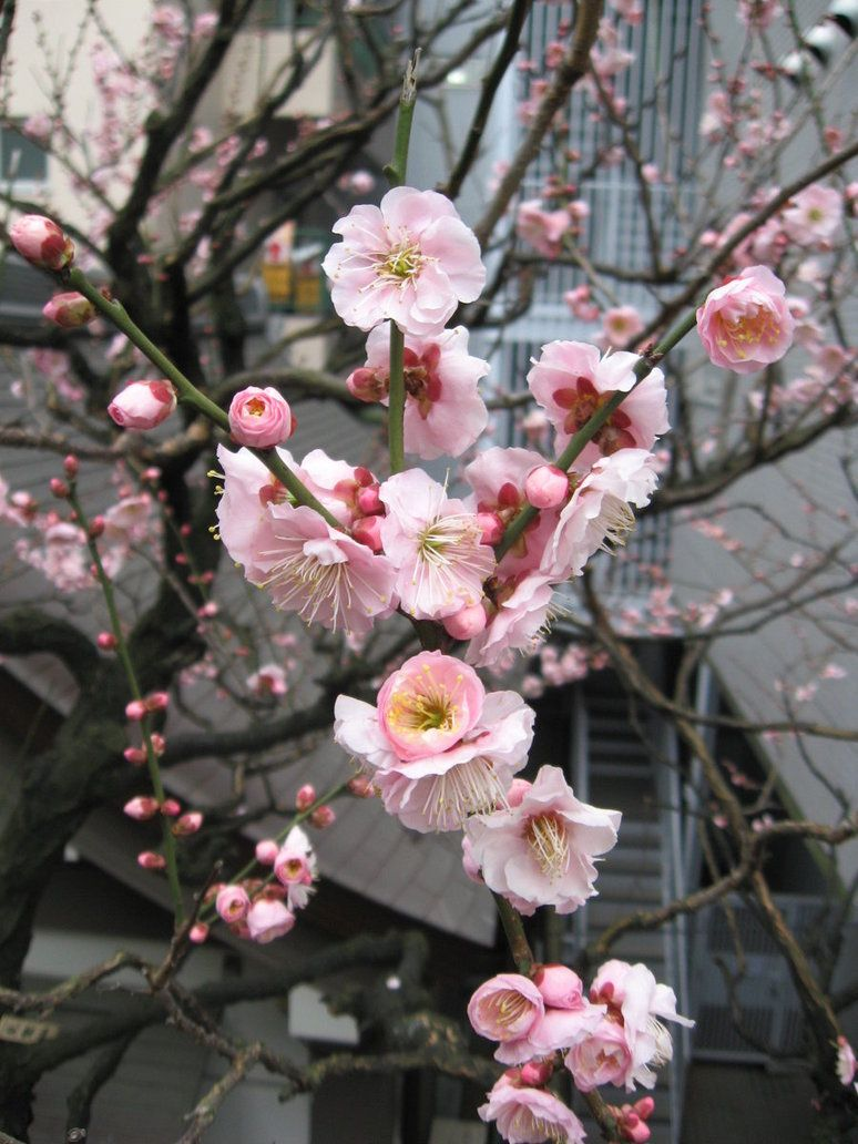 Pin By Alberta On Bot A Ny Cherry Blossom Tree Blossom Trees Cherry Blossom Season