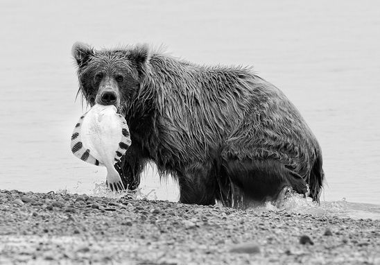 Coastal Brown Bear with a captured flounder.