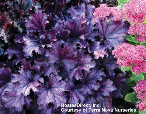 Heuchera Forever Purple 1b Backyardgardeningdesign Shade Garden