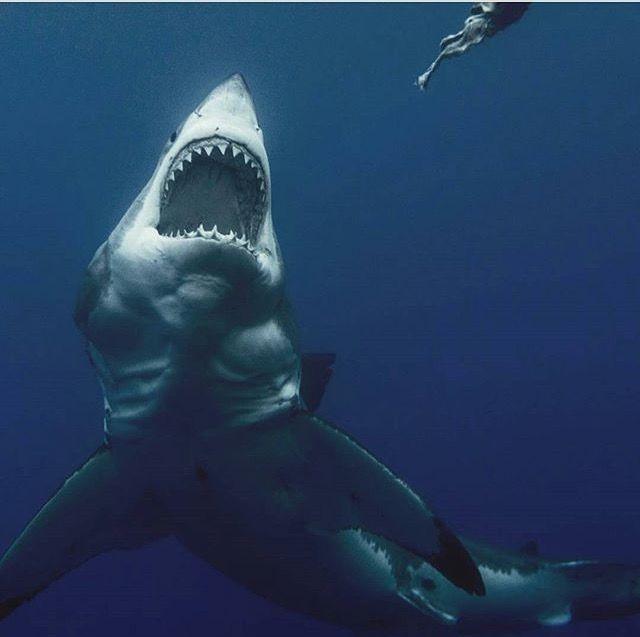 Grote witte haai | Animales | Pinterest | Tiburones, Animales y ...