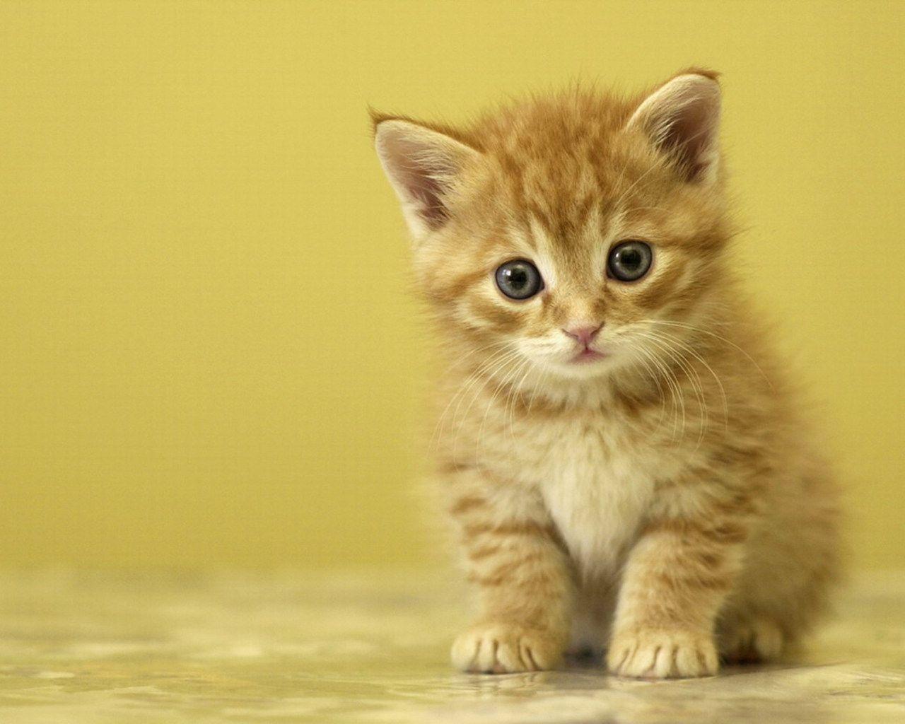 Pin Di Cute Cat
