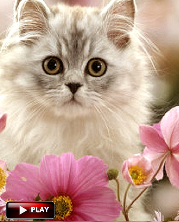 15 Purrsome Cat Breeds That Behave Like Dogs The CATDOGS