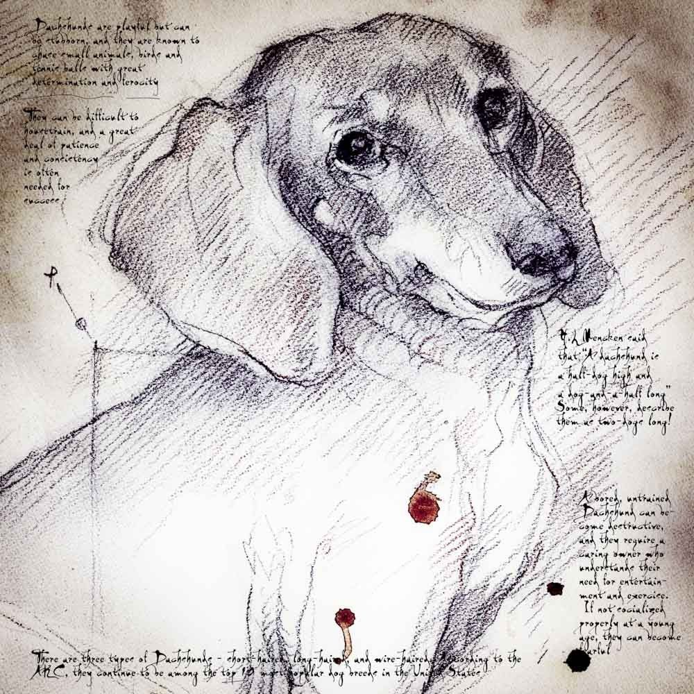 Dachshund Face Detail Of A Da Vinci Style Drawing Dachshund Art Dog Art Doxie Art