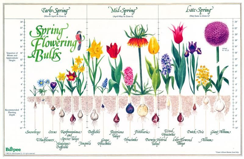 Bulb Chart Bloom Time And Planting Depth For Spring Blooming Bulbs