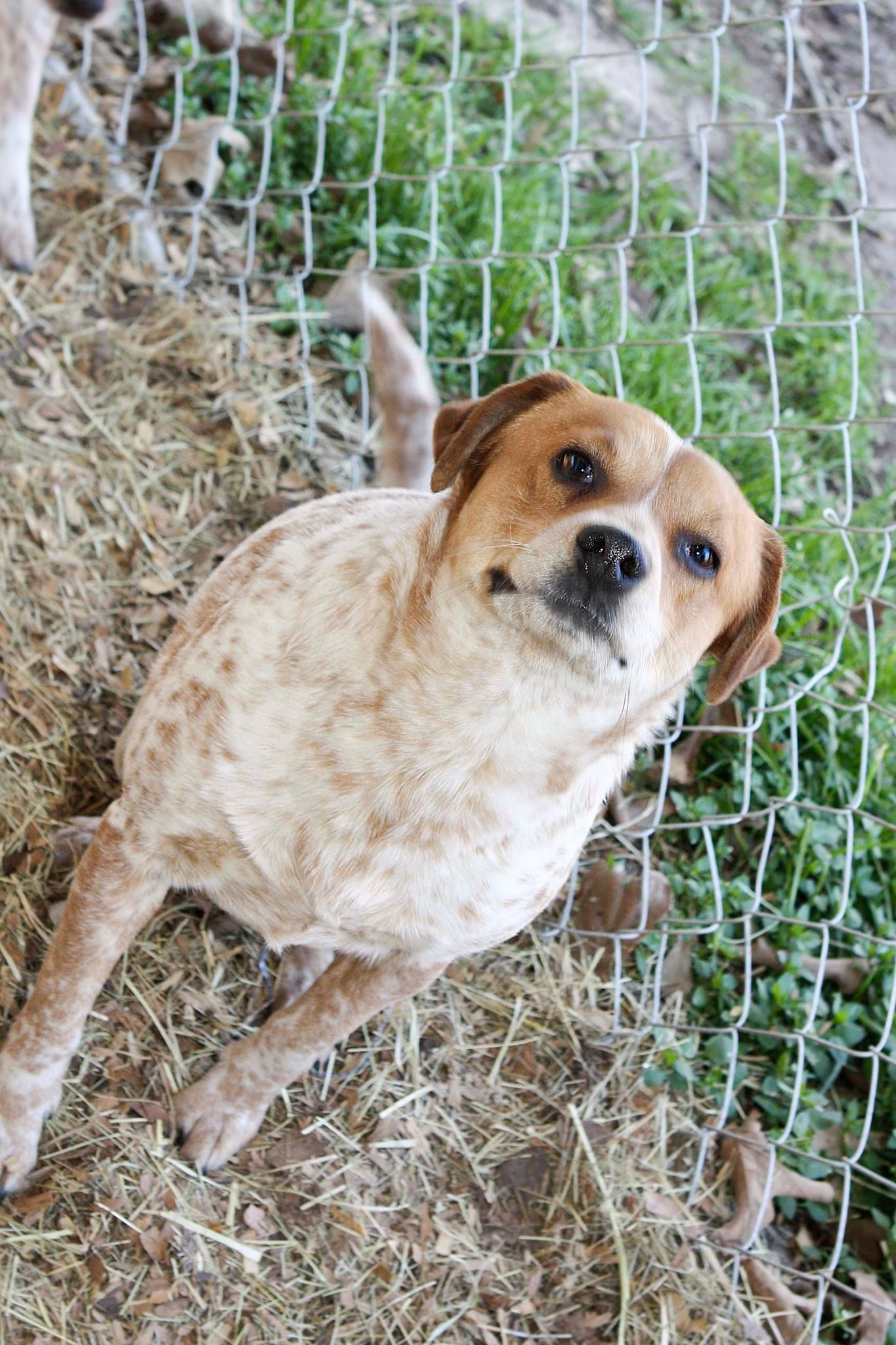 Bones Red Heeler Blend Neutered Male About 3 Yrs Old Great Yard Dog And A Good Watch Dog Dogs Red Heeler Watch Dogs
