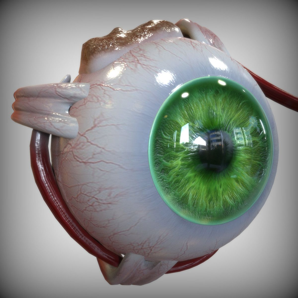 3d model of the human green colored eye | 3d Anatomy | Pinterest ...