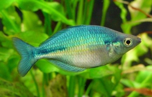 Turquoise colored fish | Turquoise Rainbow Fish - Melanotaenia lacustris