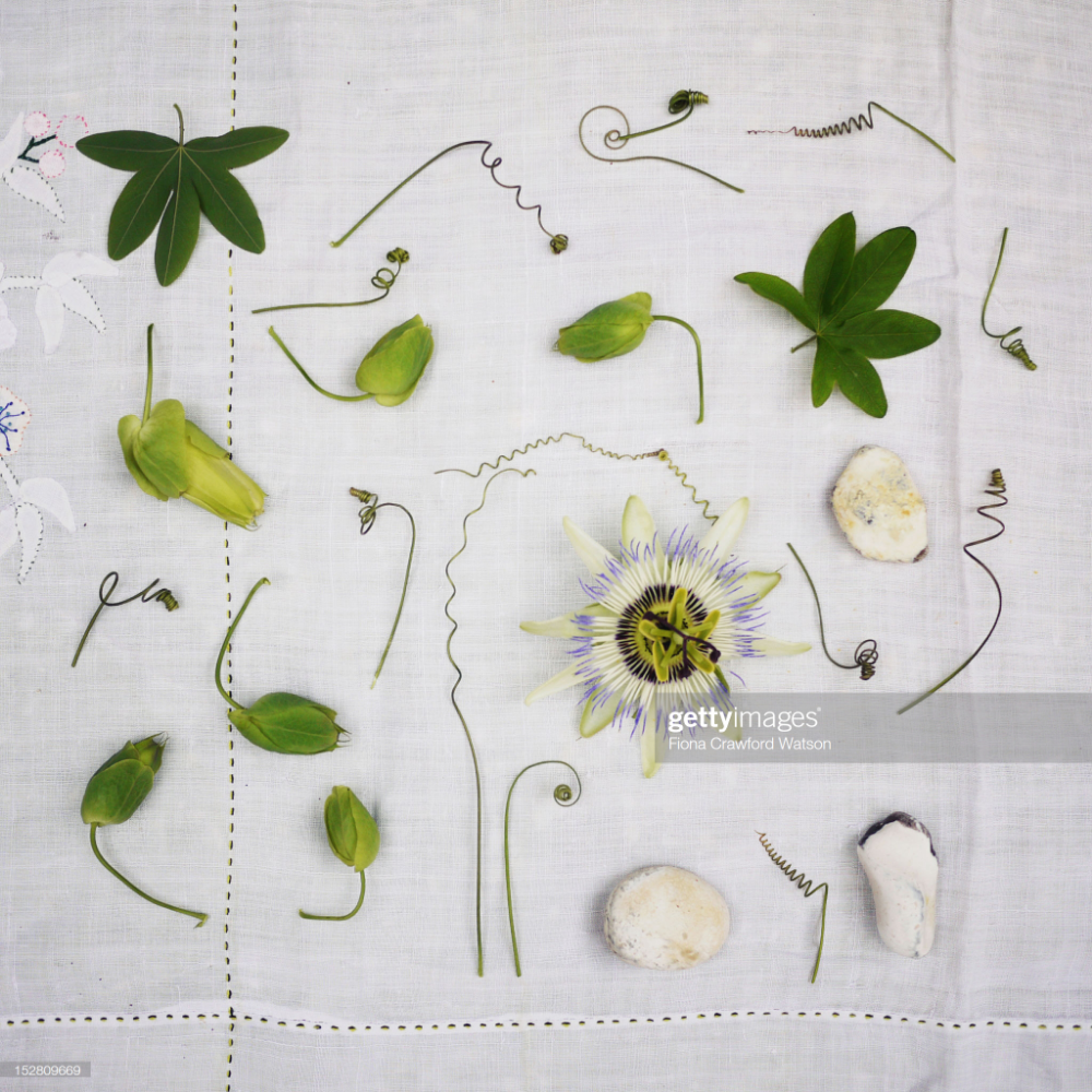Arrangement Of Passion Flower Tendrils Leaves Buds And Blossom On Tender Is The Night Passion Flower Floral Art