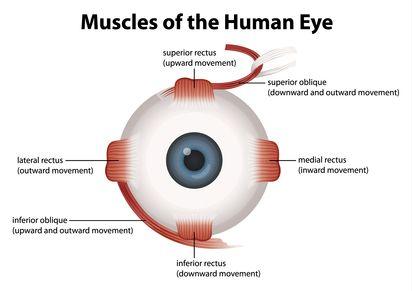 human eye muscles | steder å besøke | pinterest | to be, human eye, Muscles