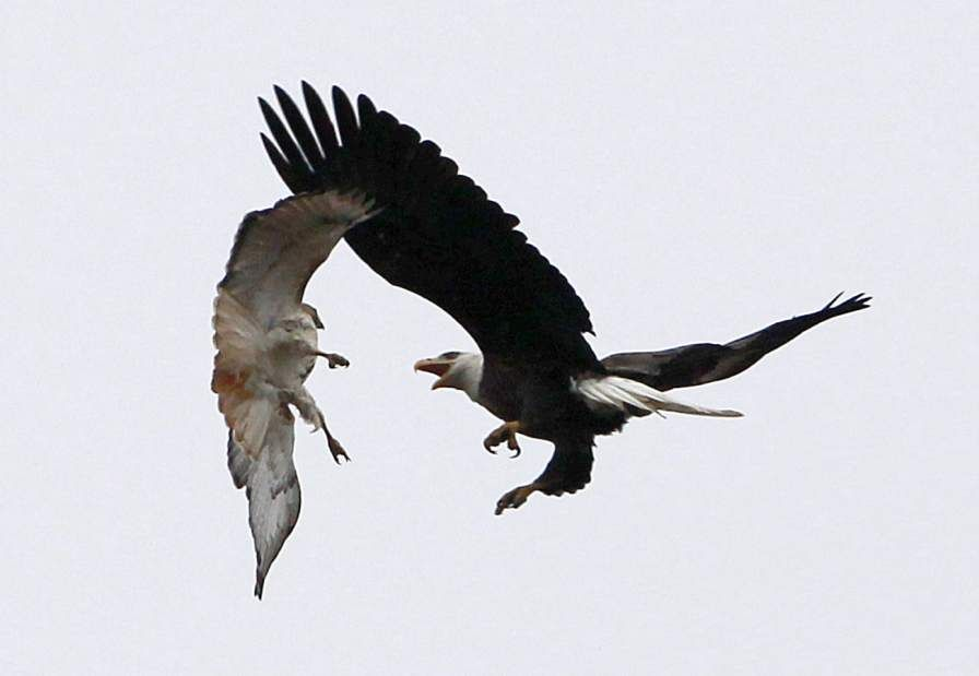 Bald eagles, red-tailed hawks offer spectacle as they battle for ...