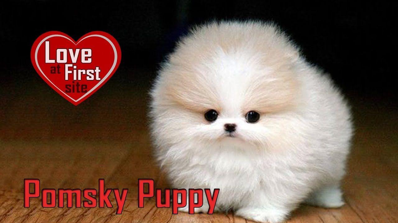 Pomsky Puppy Dog Breed Information On Pomeranian Husky Mix Pomeranian Puppy Pomsky Puppies Pomeranian Dog