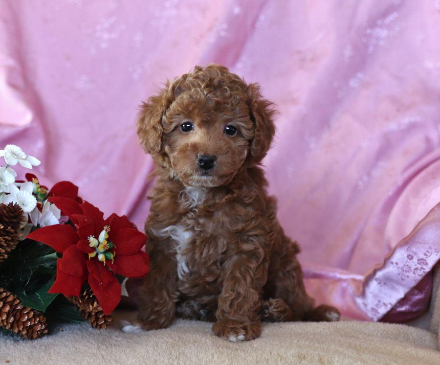 Happy Miniaturepoodle In 2020 Lancaster Puppies Healthy Puppy