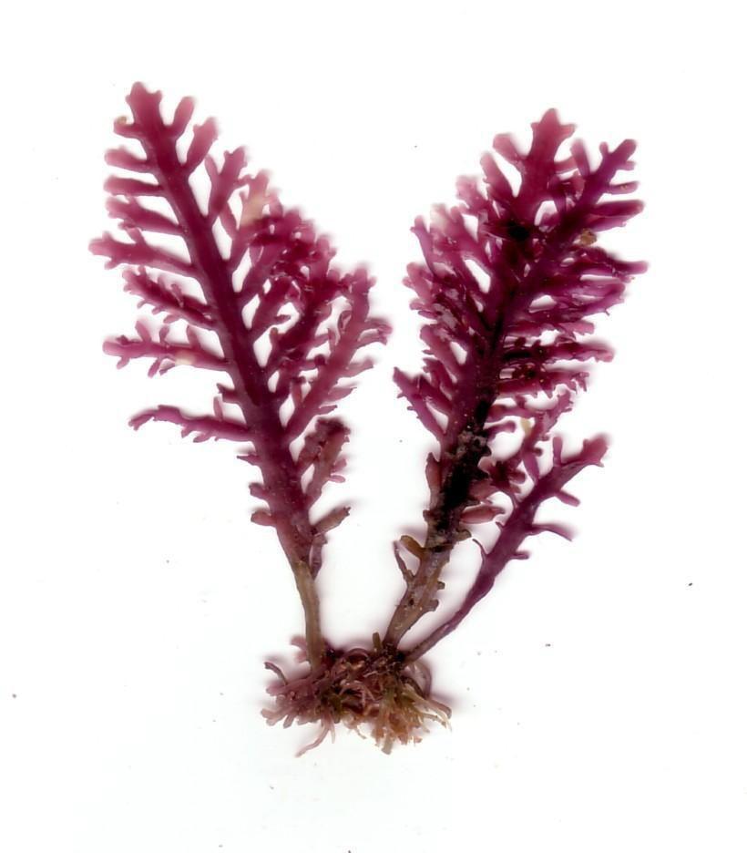 Gelidium spp. Lamouroux   Rhodophyta  fam.Gelidiaceae principale fonte di agar